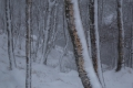 02 Birch trees in the snow_David Eckland