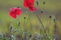 Amanda Culley_Early poppies