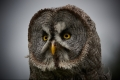 George Purchase_Great Grey Owl