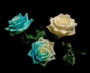 Roses-blue-or-white_David-Eckland