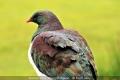 Rod Lacey_Kereru a NZ Wood Pidgeon
