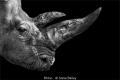 Steve Bailey_Rhino